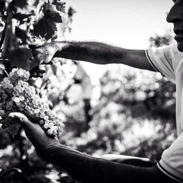 #harvest #bianchello #bianchellodelmetauro #pesarourbino #wine #winery #vendemmia #uva #piagge #marche #grape