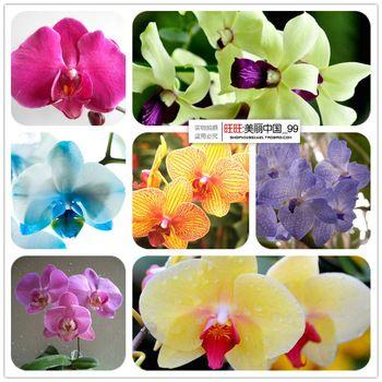 Bonsai  balcony flower butterfly orchid seeds phalaenopsis orchids  -100 pcs seeds Beautiful garden