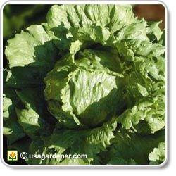 Lettuce - growing Lettuce - how to grow Lettuce - Head Lettuce