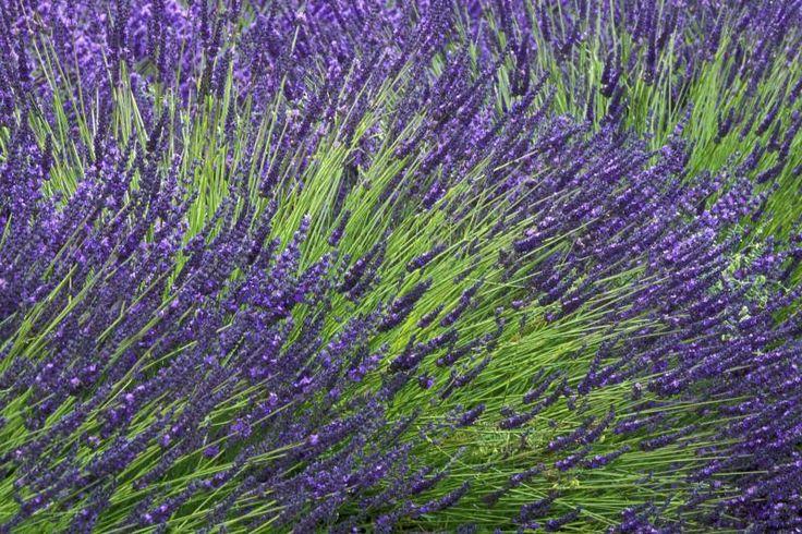 How to Divide Lavender Plants
