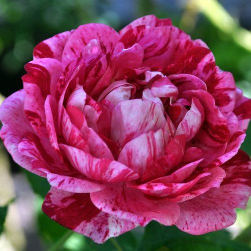 'Commandant Beaurepaire' (1864) - syn. 'Panachée d'Angers'.  Bourbonroos. Zeer rijke en lange zomerbloei. Dubbele, komvormige, lichtroze bloemen (7cm) met donkerroze, witte, paarse en bordeaux strepen en vlekken. 150cm x 120cm.