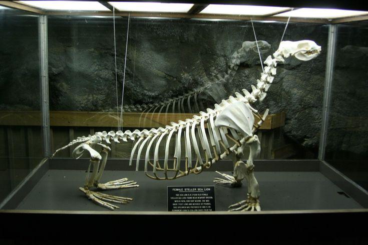 Photo Detail Sea Lion Skeleton Taxidermy Animal