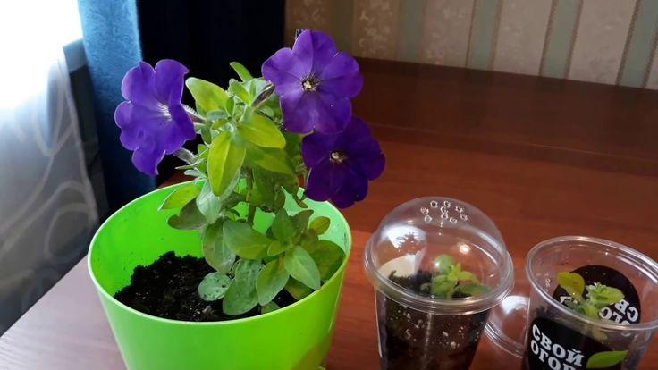 Как сохранить любимый сорт  петунии на зиму в обычных городских условиях