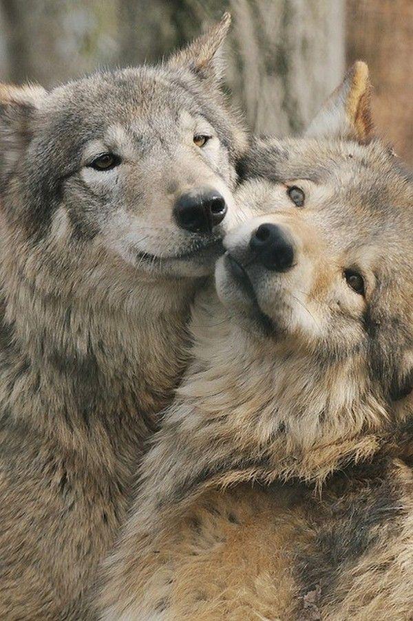 волки целуются картинка работал компании