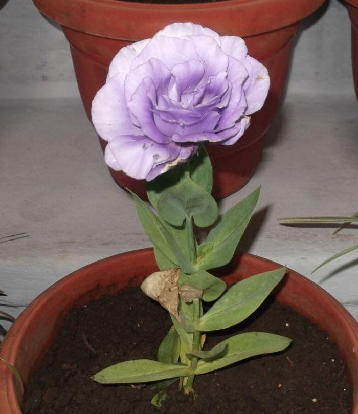 Eustoma Grandiflorum Showy Flowers Perennial Garden Types Of Soil
