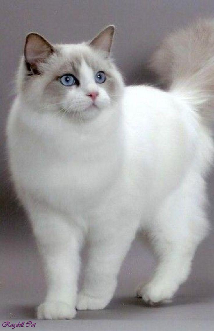 2604 best Ragdoll cats images on Pinterest