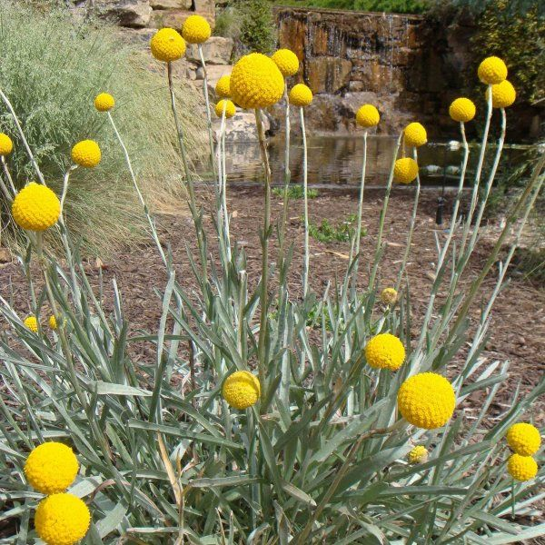 Drumstick Flower Craspedia Globosa 150 Seeds 953 Dried Flower Arrangements Craspedia Flowers