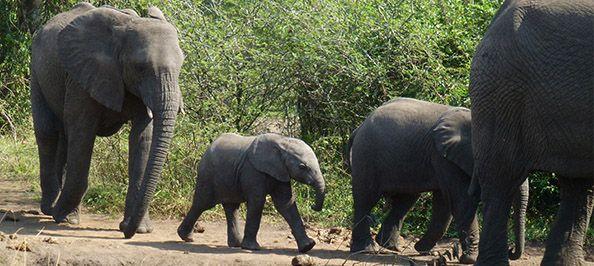 3 Days Queen Elizabeth Safari A get away to Uganda's most popular national park has the highest number of species diversity.