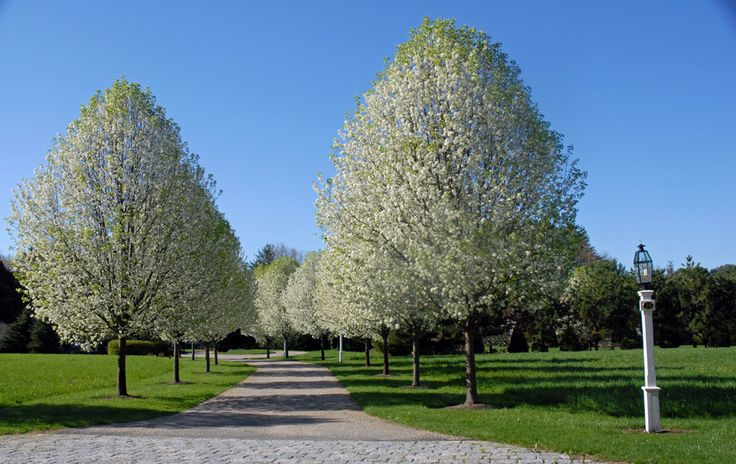 Trees to Line Driveway Pictures | ... Landscape driveway in Norwell, MA bordered with flowering pear trees