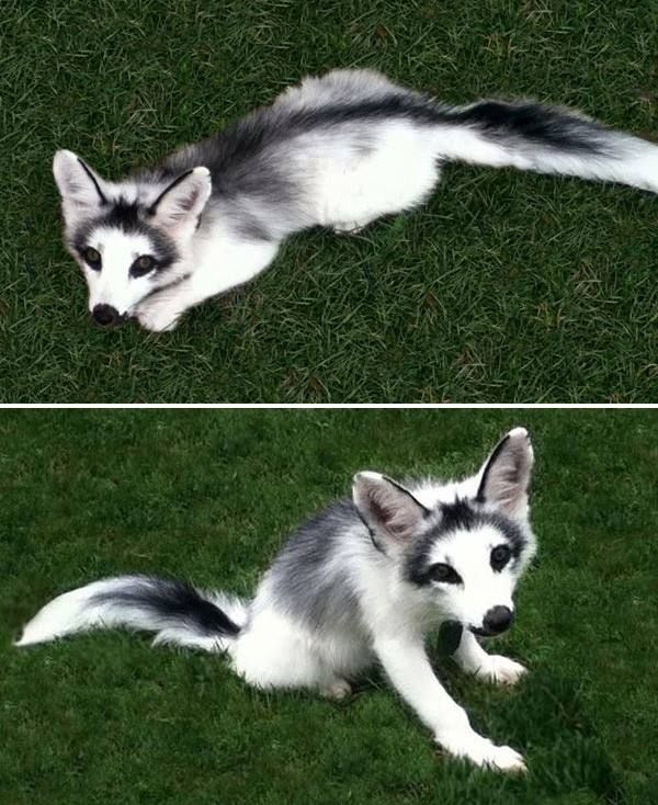 The extremely rare, yet fully domesticated, marble fox. I want one!