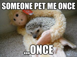 I would pet you everyday I love hedgehogs