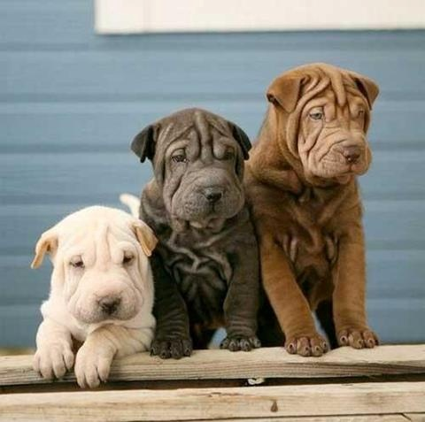 Shar Pei's in 3 colors!