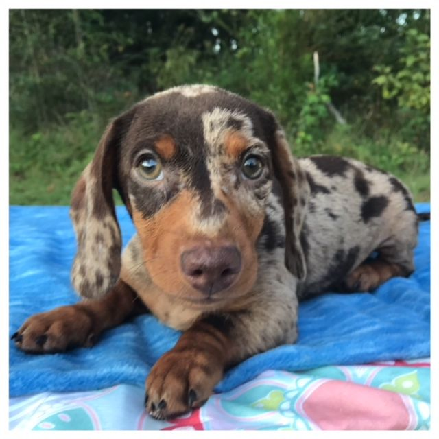Doxieville Kennel Smooth Long Haired Miniature Dachshunds Over