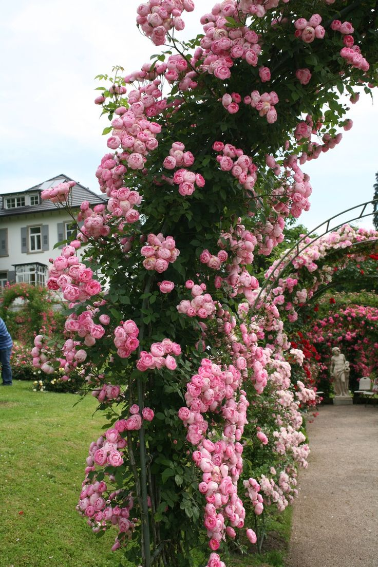 17 best images about r e on pinterest shrub roses. Black Bedroom Furniture Sets. Home Design Ideas