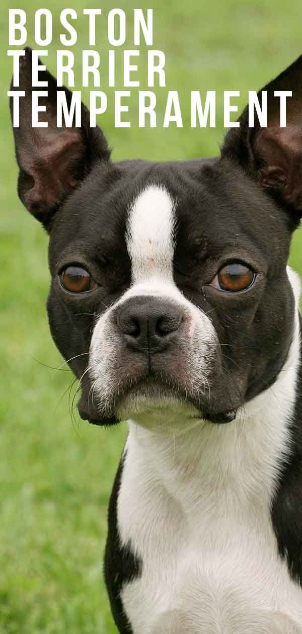 Boston Terrier Temperament What Will Your Dog S Personality Be