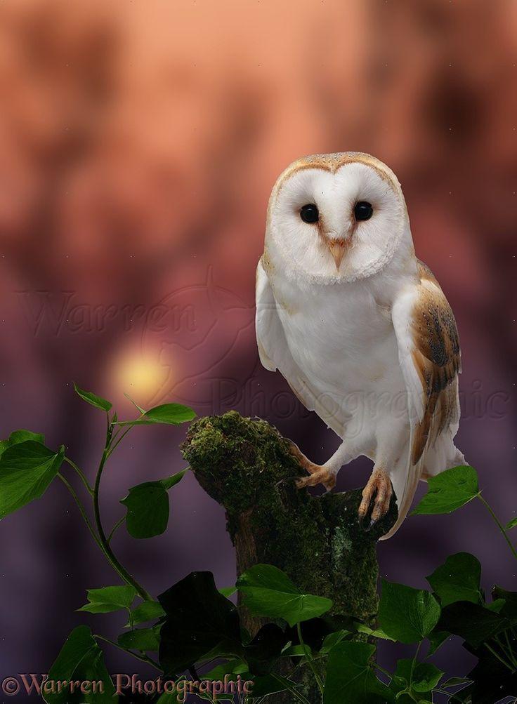 Barn Owl. Warren Photographic