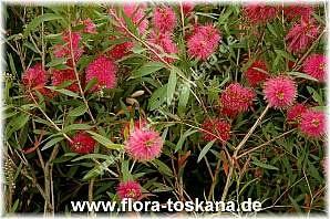 Callistemon citrinus ´Perth Pink` - Violetter Zylinderputzer