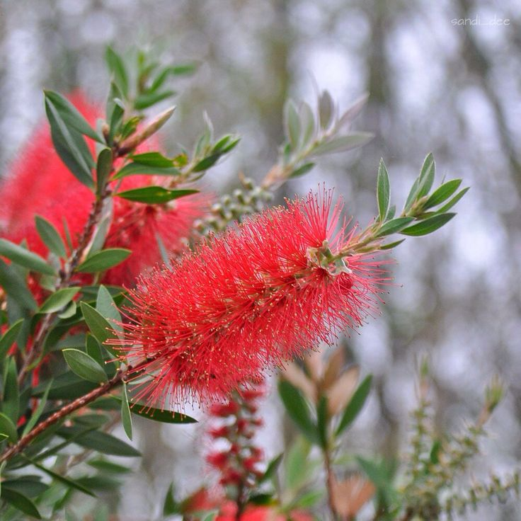 Bottlebrush calistamon  My Penang Gardens Central Coast NSW 24/10/15