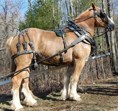 Belgian Draft Horse pulling drawings | Hooves and Hounds Farm: Hooves