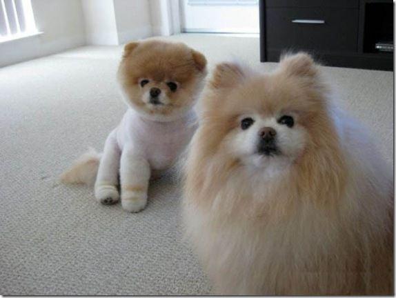 Peek A Boo Dog Breed | The Internet s Favourite... Little