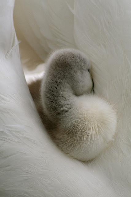 cygnet (baby swan) on a ride