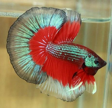 half-moon butterfly betta fish | Animals | Pinterest ...
