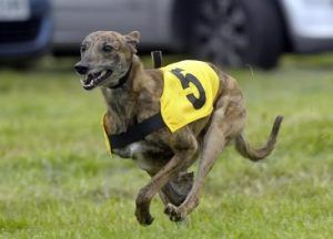 Image result for racing lurchers