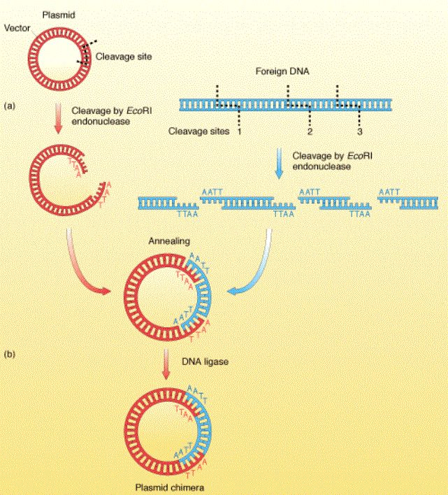 biotechnology - recombinant dna  IF I CAN GET THE FRIKKIN DNA TO CUT