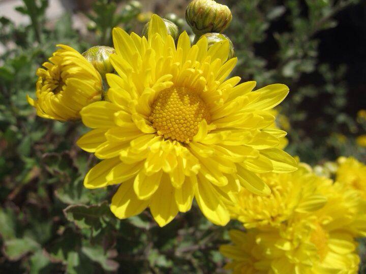 Flor del pueblo de Macaya, precordillera andina, Chile. #flor #flower #Chile  Foto MMM Canon Powershot 550SD, 2010.