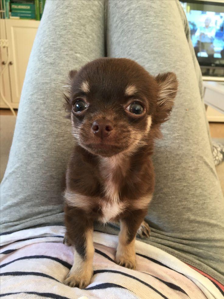 Tiny Chocolate Chihuahua Chihuahua Chihuahua Puppies Baby