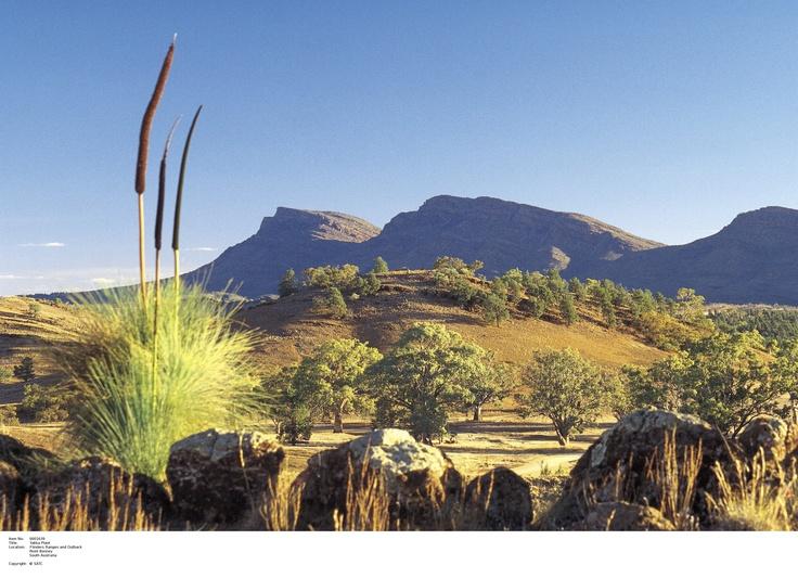 Yucca Plant, SA Outback.  Image Source: SA Tourism Commission.