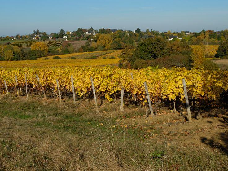Les vignes en automne. Photo MNC