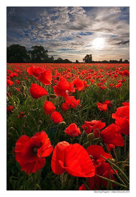 Fleur - Coquelicot - Poppies by Adam Edwards  La fleur sans parfum a toujours été associé au sommeil. D'après la mythologie, Morphée touchait d'un coquelicot ceux qu'il voulait endormir. Cette fleur est synonyme de tranquillité et de consolation.