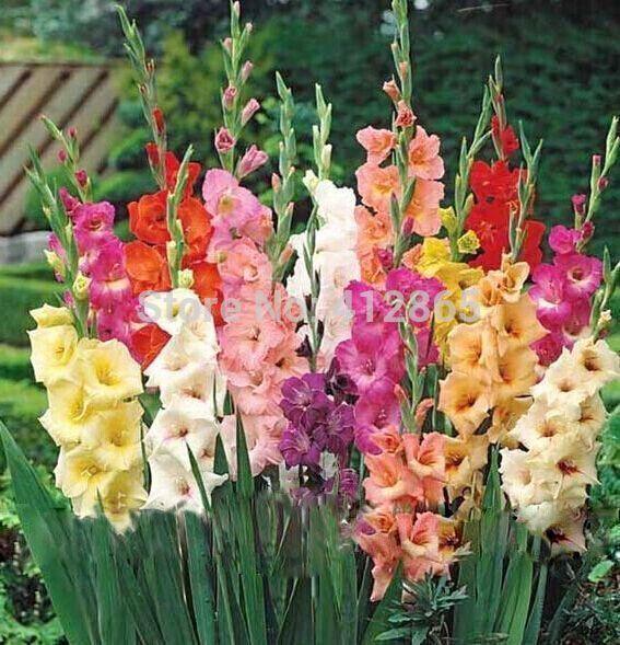 200pcs Gladiolus Seeds Gladiolus Flower Seeds 95 Germination Diy Perennial Seeds In 2020 Bulb Flowers Gladiolus Flower Planting Bulbs
