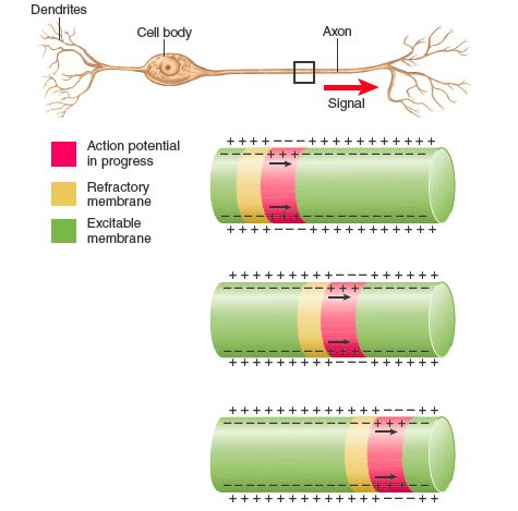 This image displays an action potential traveling down the axon. In the place of the action potential, the membrane potential is the opposite sign as the rest of the membrane, and it is followed my a refractory period, so the potential is one directional.