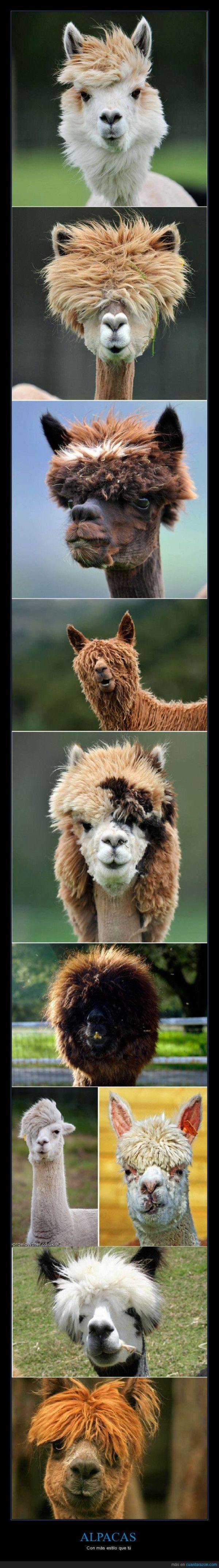 Alpacas con más estilo que tú. Comparaciones