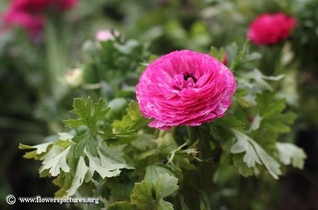 Ranunculus flower (18)