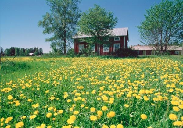 Kesämaisema (72618). kesä, pelto, puut, talo, voikukat BY UNTO HEINONEN