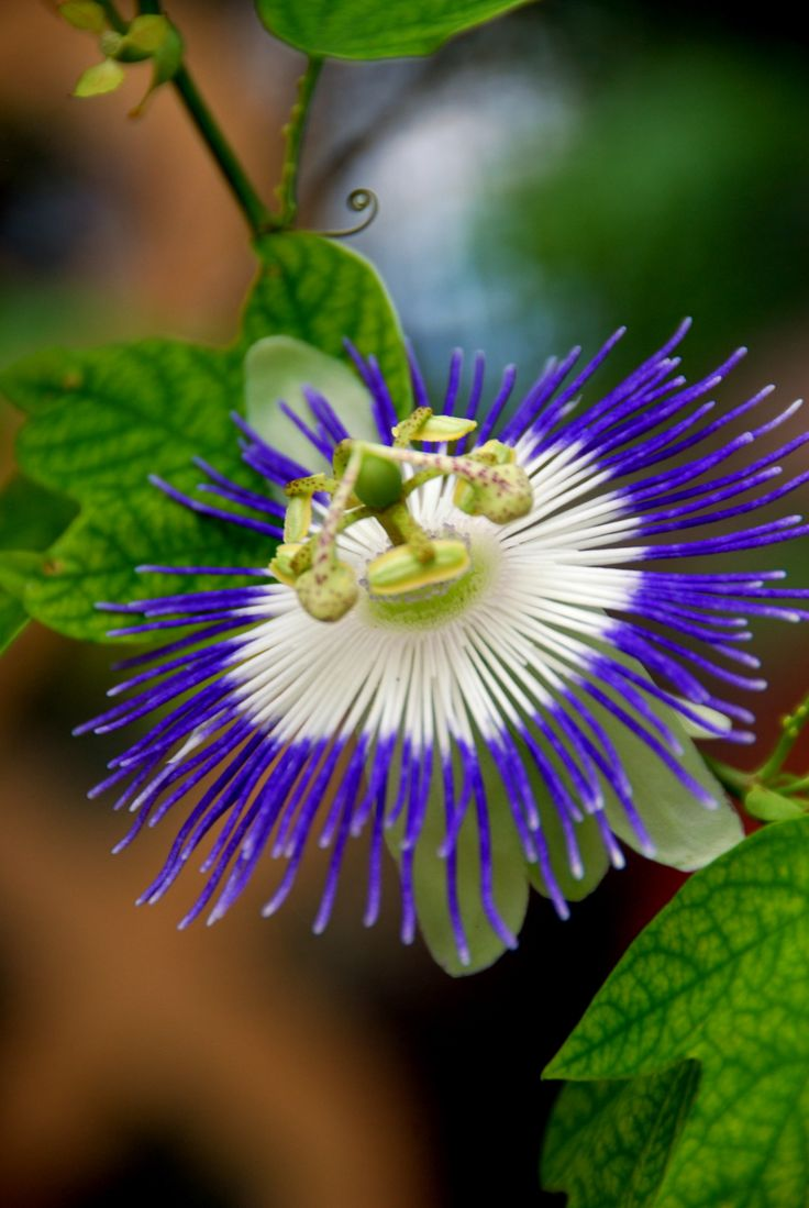 passion flower - I grew up with these. Can I have them in my garden?