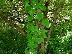 wild canadian grape vines - Ecosia