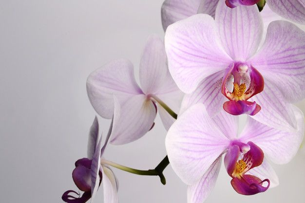 Beautiful Phalaenopsis Orchid Flowers Isolated On White Background In 2020 Orchid Flower Phalaenopsis Orchid Orchid Drawing
