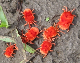Red Velvet Mite:Velvet mites are arachnids found in soil litter known for their bright red colours but are often mistaken for spiders. They are active predators as grown adults but early instars are often parasites on insects.[1]