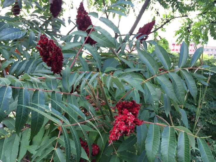 Staghorn Sumac (rhus typhina): A hardy deciduous species with colorful fruit and bright orange fall color. Flowers are followed (on females) by red berries in cone-shaped structures. It grows best in full sun and is quite drought tolerant. Aggressive growth habit, spreading by runners. It can reach up to 15ft (5m) or more. Native to Eastern North America.