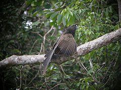 Centropus phasianinus é uma espécie de ave da família Cuculidae.  Pode ser encontrada nos seguintes países: Austrália, Indonésia e Papua-Nova Guiné.  Os seus habitats naturais são: florestas subtropicais ou tropicais húmidas de baixa altitude e florestas de mangal tropicais ou subtropicais.