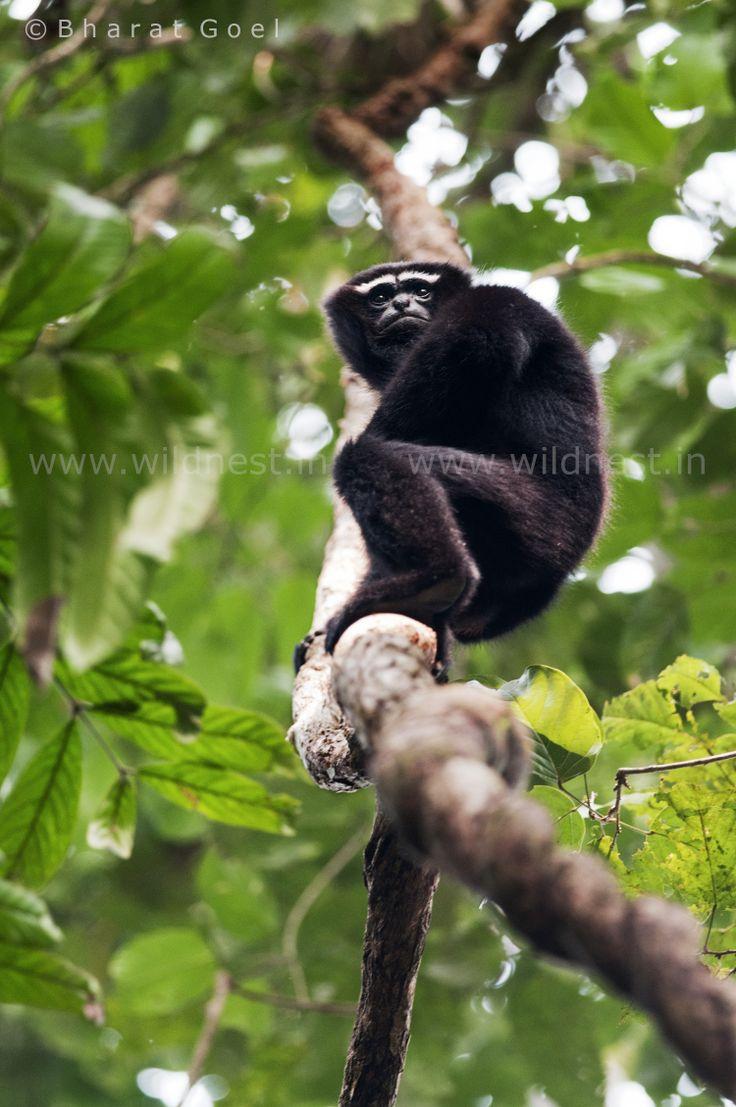 Hoolock Gibbon Male