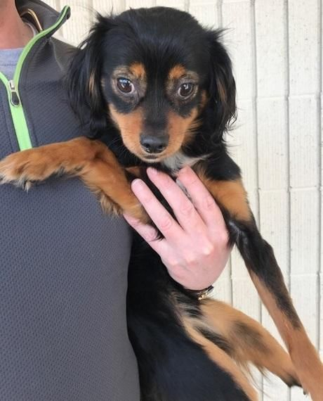 Noran is an adoptable Cavalier King Charles Spaniel searching for a forever family near Tulsa, OK. Use Petfinder to find adoptable pets in your area.