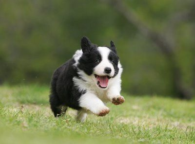 Running border collie pup. So happy!