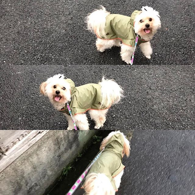 レインコート着てお散歩したけど…  そないいうほど雨降ってこんかった( .. )  この後、お風呂に入りました。  #ポメプー #ポメラニアン #プードル #オス #ラミ #愛犬 #あまえんぼ #可愛い #もふもふ #ミックス犬 #ハーフ犬 #20140531 #2歳 #癒し #親バカ #滋賀から来た #ブリーダーは毛芝さん #パテラ