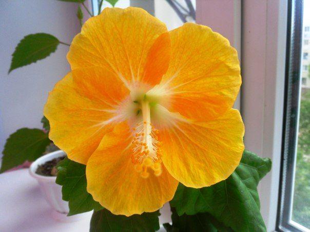 Ранее я уже писала Вам, как нужно ухаживать за комнатным гибискусом. Мы выяснили, что делать это совсем не сложно (можете посмотреть статью в разделе «Комнатное цветоводство» на нашем сайте). Гибискус растение очень красивое, от созерцания его невозможно оторваться во время его цветения. Великолепные цветы, крупные, различных расцветок – я могу смотреть целую вечность на вновь …