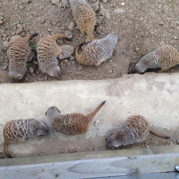 Meerkats at The Parrot Zoo